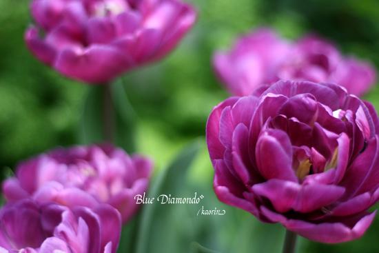 tulip2008-4-12.jpg